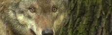 Wolfsehrnah barb