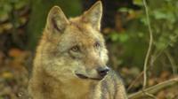Wolfsnah bearb